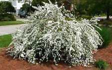 Spiraea billardii 'Triumphans' 50 seeds