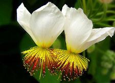 8 graines TILLEUL D'APPARTEMENT(Sparmannia Africana)D97 RARE SEED SAMEN SEMILLAS
