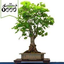 Maidenhair Tree - Ginkgo biloba (5 Bonsai Seeds)