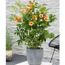 Campsis Hardy Drought Tolerant Shrub Plant Indian Summer Easy to Grow 2L Pot T&M