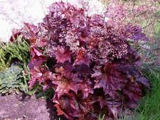 Heuchera Emperor's Cloak Seed Perennial Evergreen Frost Hardy Clumping Striking