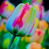 5pcs Rainbow Tulip Seeds Bulbs Seeds Bonsai Flower Seeds World Rare Potted Decor
