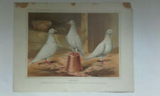 Antique print pigeons CUMULETS from THE FEATHERED WORLD 1898 J W Ludlow