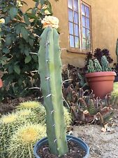 "Myrtillocactus~ geometrizans ""Blue Candle"" LARGE CUTTING 17"" Tall Cactus"