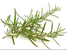 Rosemary Rosemarinus Officinalis 50 seeds * herb * Fragrant * CombSH B86