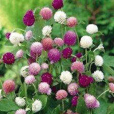 Gomphyrena globosa Mix Flower Seeds from Ukraine