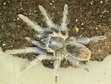 "PINKTOE TARANTULA Avicularia avicularia 3/"" Specimen Unsexed"