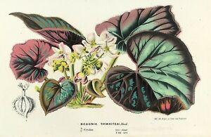 Botanical Bergonia Thwaitesi by Van Houtte c1850 original Antique Print
