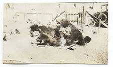 Humorous 1920s Photo of Man & Woman in Real Bear Skin Costumes