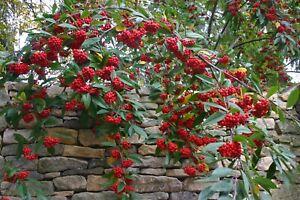 Cotoneaster salicifolius -  Small Tree or large Shrub Plant in 9cm Pot