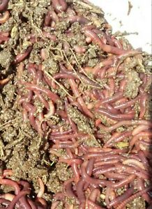 250 Live California Red Worms