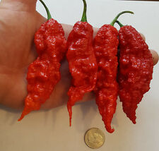 Giant Ghost Pepper! 100 Live High Quality Seeds! Worlds Hottest!