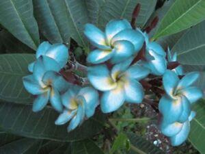 """""""BLUE HAWAII"""" FRAGRANT Plumeria Cutting Healthy Plant Fresh 7-12 INCH+ROOTED"""