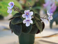 Saintpaulia Velutina Lite African Violet Starter Plant - See Winter Shipping