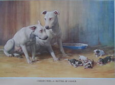 BULL TERRIER DOG PRINT CAESARS WIFE BY AMBLER ORIGINAL MID 1930'S DOG PRINT