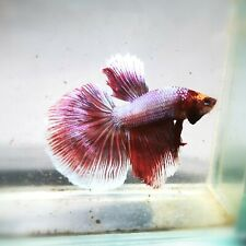 Live Betta Fish - Male - Fancy Pink Princess Halfmoon (ASEP229)