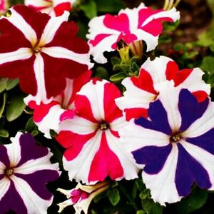 Seeds Petunia Starfall F1 Mix Indoor Flower Annual Planting Ukraine