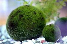 Giant Marimo Ball - Live Plant Fish Aquascape Green Aquarium Tank INV