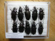 Megodontus purpurascens n. bicinctus (Carabidae)