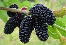"Mulberry Plant Tree Dwarf Everbearing Morus Nigra Sweet Fruit 4"" Pot New"