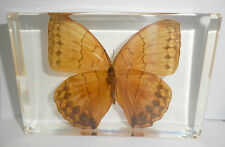Jungle Queen Stichophthalma howqua Butterfly in Clear Block Education Specimen