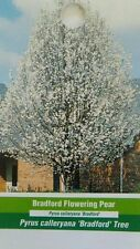 Bradford Flowering Pear Tree Home Garden Plants Landscape Trees Plant Flower