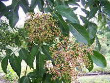 EVODIA HUPEHENSIS TETRADIUM DANIELLI 10 semi seeds Albero del miele Bee tree