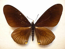 Real Butterflies/Insects Set/Spread...Chilasa slateri.........8 cm