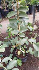 Thai Guava White Flesh - 3 to 4 Feet Tall - Ship in 1 Gal Pot