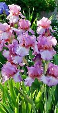 1 White Purple Pink Bearded Irises, rhizomes, iris bulbs, flowering bulb plants