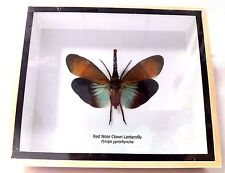Collectible Taxidermy Real 1 Red Nose Clown Lanternfly Display in Wood Box Gift