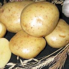 Potato BALLAD Seeds organic seeds Ukraine Seeds 0.02g