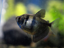 BLACK WIDOW TETRA **Gymnocorymbus ternetzi** TROPICAL FISH ** 2CM
