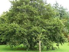 10 Common Alder Hedging,Alnus Glutinosa 3-4ft Trees,Great For Wildlife & Shade