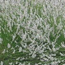 White Lavender Angustifolia 'Edelweiss' Perennial Flowering Plug Plants Pack x6