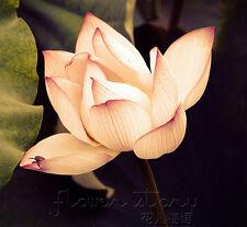 10 Seeds Light Yellow Lotus Seeds China Rare Fragrance Water Pond Plants