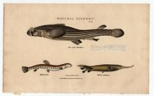 FISH Four Eyed Anableps - Loach - Centriscus 1813 Hand Colored Engraving