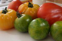 Fan de Tomate - Lot de 225 graines de Tomate Ancienne - 6 variétés - KITSEB-009