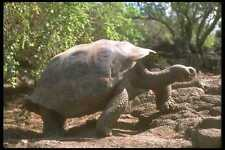 160037 Galapagos Giant Tortoise Dome Shaped Type Walking A4 Photo Print