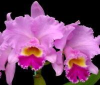 BIN) Mami Akatsuka 'Volcano Queen' Mericlone Cattleya Orchid