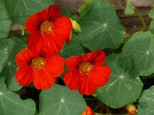 Nasturtium Empress Of India Flower Seeds Packet 4 GRAMS Bright Red Waterfall USA