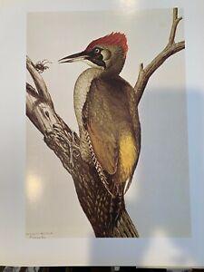 "Louis Agassiz Fuertes & The Singular Beauty of Birds, ""Green Woodpecker"" Print"