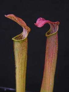 Carnivorous Sarracenia rubra subsp gulfensis, Crestview