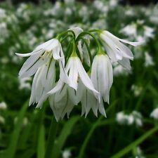 Allium triquetrum 5 bulbs