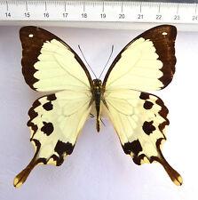 Papilio dardanus ssp.meriones ex MADAGASCAR  n104a