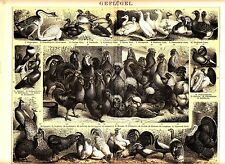 ca1890 CHICKENS GOOSE DUCK PIGEON TURKEY BIRDS Antique Lithograph Print