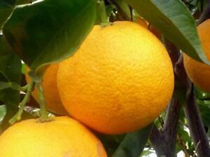 Citrus Orange Plant Fruit Tree 30cm in a 1.2 Litre Pot Evergreen & Fragrant