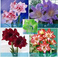 Amaryllis Bulbs Barbados Lily Bulbs Hippeastrum Bulbs, Multi-Colors, 2 Pcs / Lot