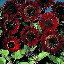 40 SEEDS Chocolat Sunflower Seeds Chocolate Colour Flower Plant Garden Pot Patio