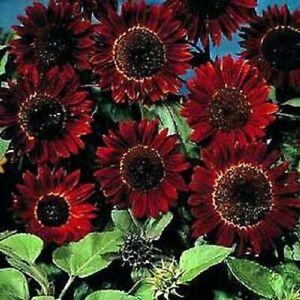 40 SEEDS Chocolat Sunflower Seeds Chocolate Colour Flower Plant Garden Pot Patio